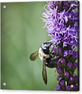 Bee On Gayfeather Acrylic Print