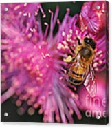 Bee On Lollypop Blossom Acrylic Print