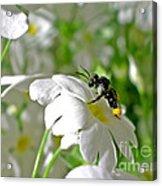 Bee On Primrose Acrylic Print