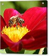 Bee On Red Dahlia Acrylic Print