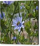 Bee On Romaine Flower Acrylic Print