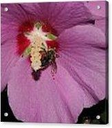 Bee On Rose Of Sharon Acrylic Print
