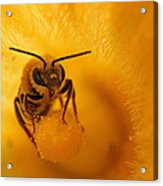 Bee On Squash Flower Acrylic Print