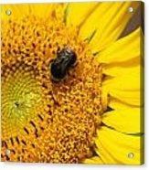 Bee On Sunflower Acrylic Print