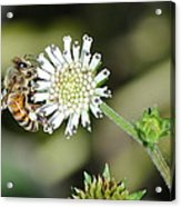 Bee On White Clover Acrylic Print