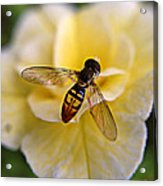 Bee On Yellow Flower Acrylic Print