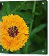 Bee On Yellow Flower Acrylic Print