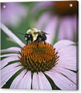 Bee Resting Squared Acrylic Print