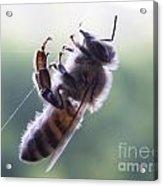 Bee Web Acrylic Print