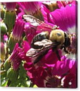 Bee With Cinearia Acrylic Print