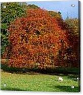 Beech Tree, Glendalough, Co Wicklow Acrylic Print