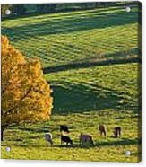 Beef Cattle Grazing In Autumn, North Acrylic Print