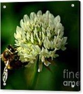 Beeflower2 Acrylic Print