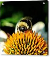 Beeing Healthy With Echinacea Pow Wow Acrylic Print