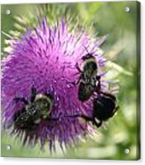 Bees On Thistle Acrylic Print