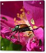 Beetle Acrylic Print