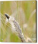 Beetle On The Wheat Acrylic Print