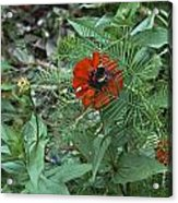 Beewildered By Red Acrylic Print