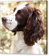 Before The Hunt - English Springer Spaniel Acrylic Print
