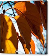 Before The Leaves Fall Acrylic Print