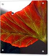 Begonia Leaf Acrylic Print