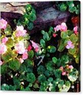 Begonias By Stone Wall Acrylic Print