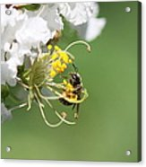 Being A Bee Acrylic Print