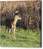 Being Aware - Deer Acrylic Print