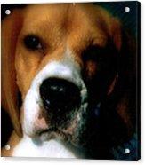 Bella The Beagle Acrylic Print