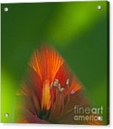 Belladonna Lily Closeup Acrylic Print