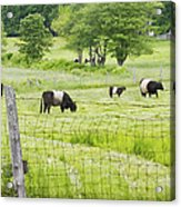 Belted Galloway Cows On  Farm Rockport Maine Photo Acrylic Print