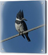 Belted Kingfisher 2 Acrylic Print