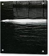 Beluga Impressions 1 Acrylic Print