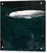 Beluga Impressions 2 Acrylic Print