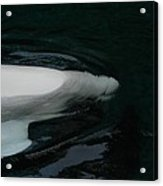 Beluga Impressions 3 Acrylic Print