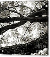 Beneath The Old Apple Tree Acrylic Print
