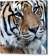 Bengal Acrylic Print by Elizabeth Hart