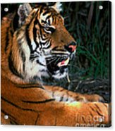 Bengal Tiger - Teeth Acrylic Print