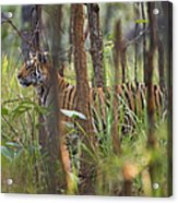 Bengal Tiger  17-month Old Acrylic Print