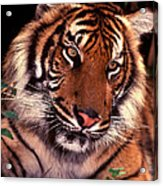 Bengal Tiger In Thought Acrylic Print