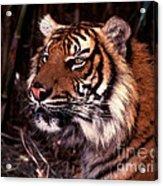 Bengal Tiger Watching Prey Acrylic Print
