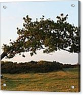 Bent Tree Acrylic Print