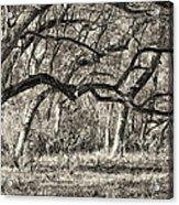 Bent Trees Sepia Toned Acrylic Print