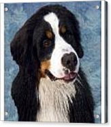 Bernese Mountain Dog 11 Acrylic Print