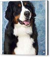 Bernese Mountain Dog 194 Acrylic Print