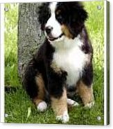 Bernese Mountain Dog 465 Acrylic Print