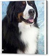 Bernese Mountain Dog 537 Acrylic Print
