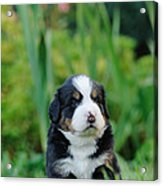 Bernese Mountain Dog Puppy Portrait Acrylic Print
