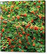 Berries In Profusion Acrylic Print