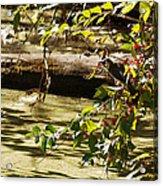 Berry Picker Acrylic Print